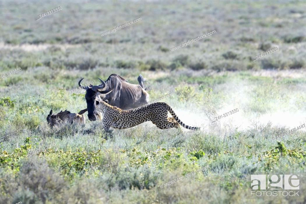 Stock Photo: Cheetah (Acinonyx jubatus) hunting on a blue wildebeest (Connochaetes taurinus) calf, chased away by the mother wildebeest, Ngorongoro conservation area.