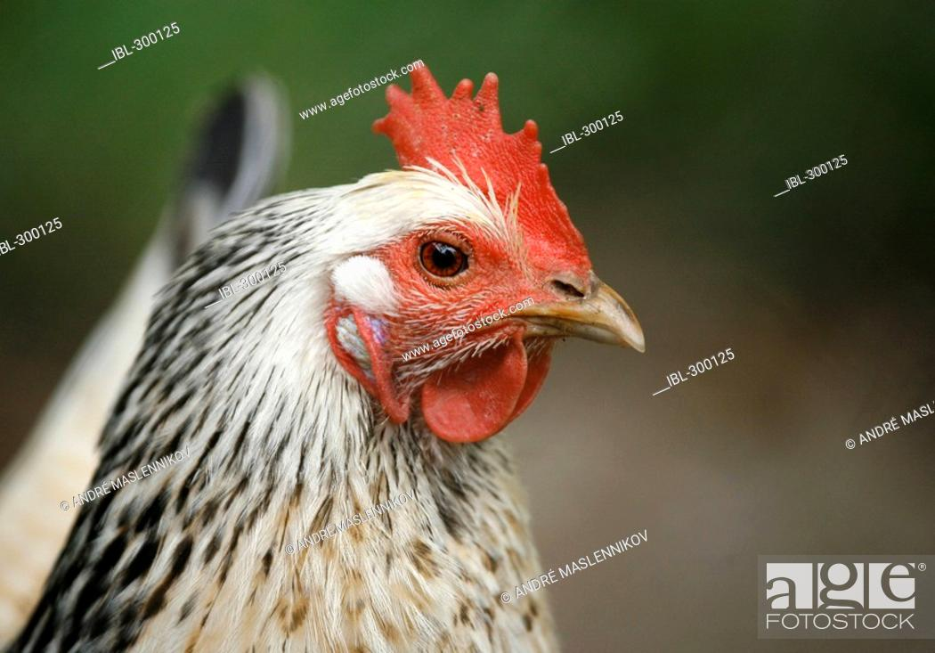 Stock Photo: Hen.