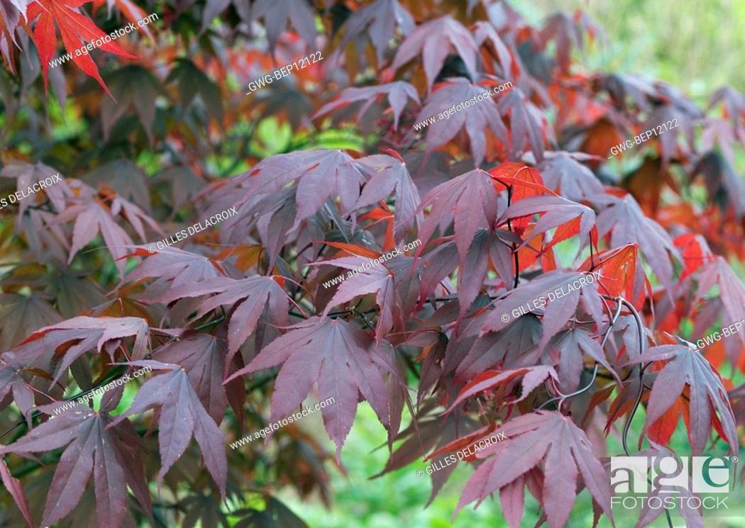 Acer Palmatum Red Emperor Stock Photo Picture And Rights Managed