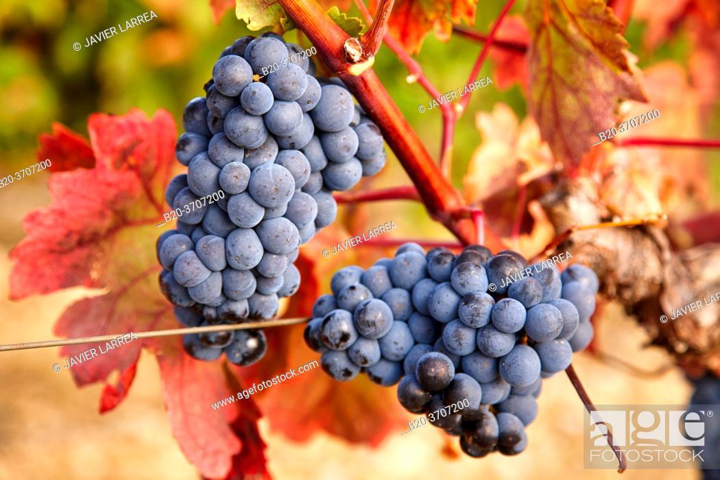 Stock Photo: Grenache grape, Vineyards, Rioja wine, Laguardia, Rioja Alavesa, Araba, Euskadi, España.
