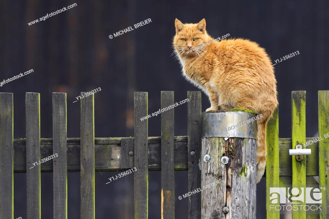 Stock Photo: Cat on wooden fence, Summer, Hesse, Germany, Europe.