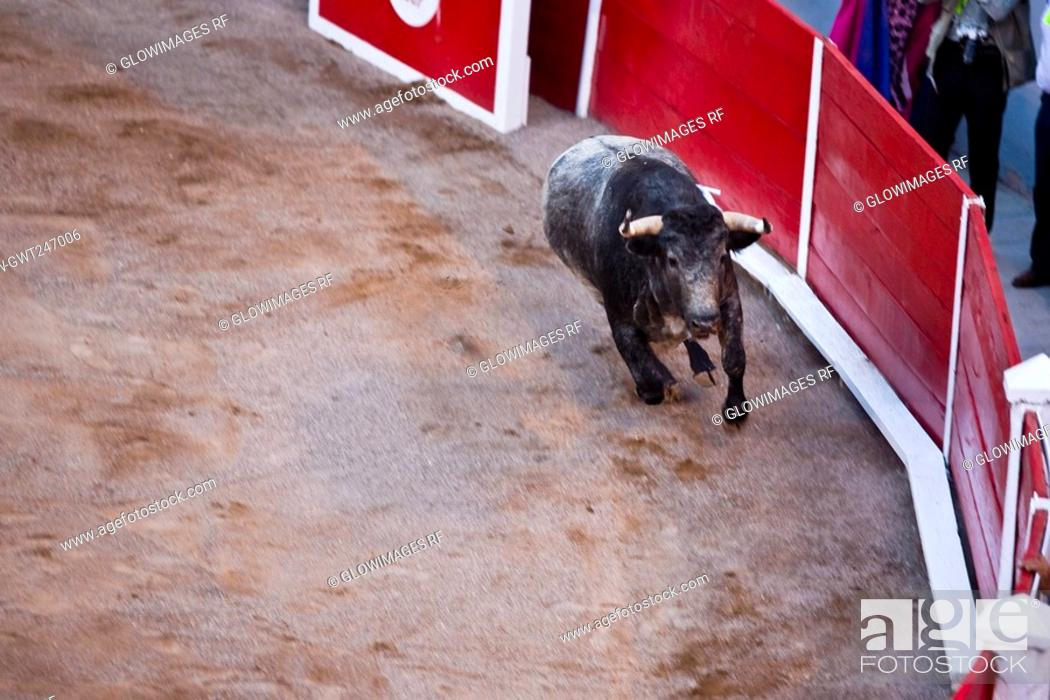 Stock Photo: High angle view of a bull running in a bullring, Plaza De Toros San Marcos, Aguascalientes, Mexico.