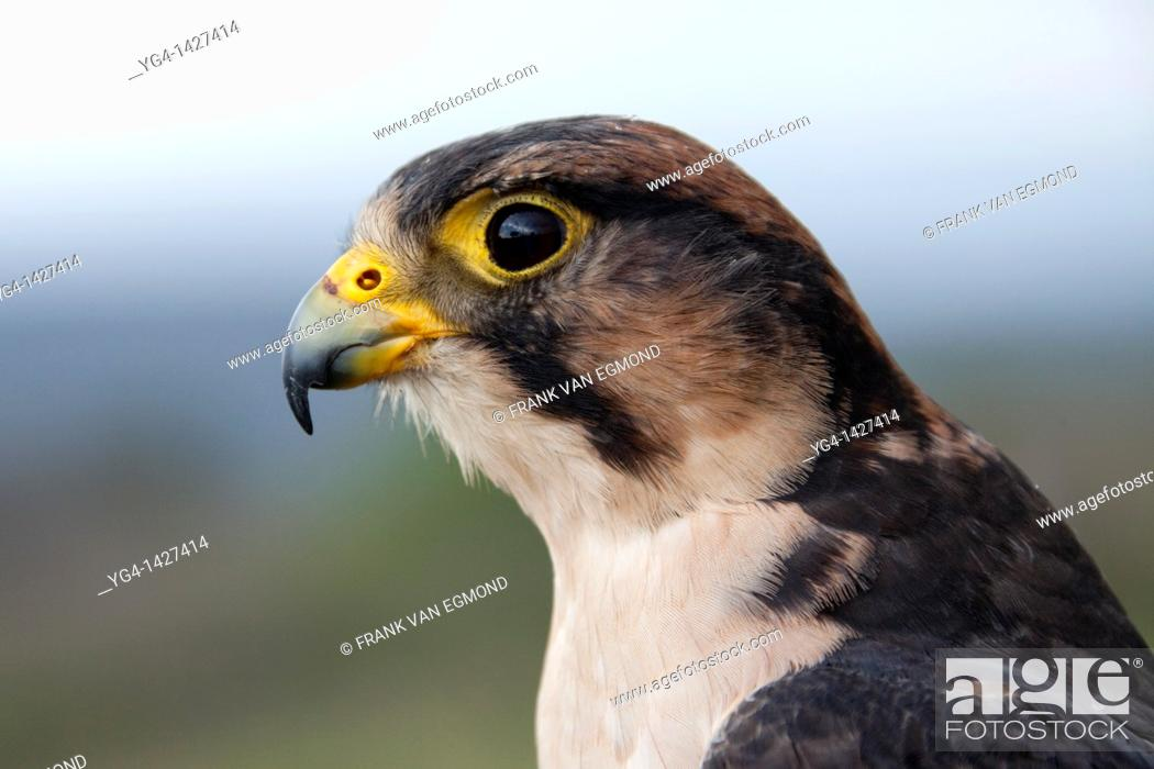 Stock Photo: Lanner Falcon portrait Falco biarmicus  Shot under controlled conditions  October 2010  African Bird of Prey Sanctuary  Kwazulu-Natal, South Africa.