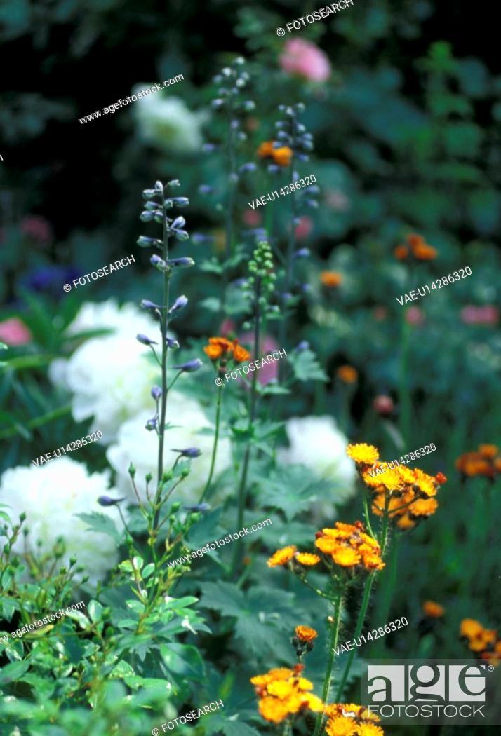 Stock Photo: wiesen, abloom, aurantiacum, Bernhard, bloom, blooms.
