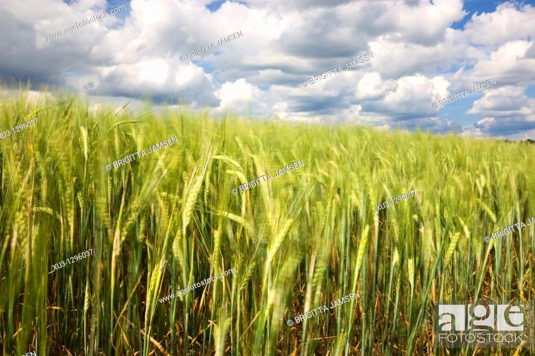 Stock Photo: Grain field, Finland.