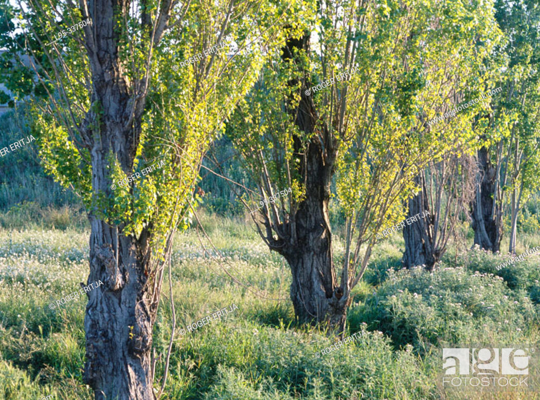 Stock Photo: Black poplar (Populus Nigra 'Italica'). El Prat del Llobregat. Spain.