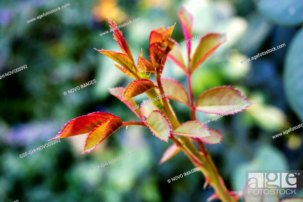Imagen: Rose Leaves.