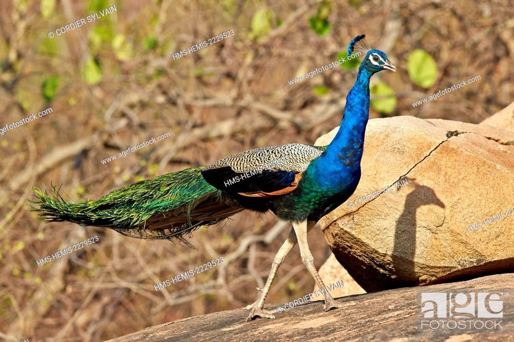 Stock Photo: Asia, India, Karnataka, Sandur Mountain Range, Indian Peafowl or Blue Peafowl (Pavo cristatus), male.