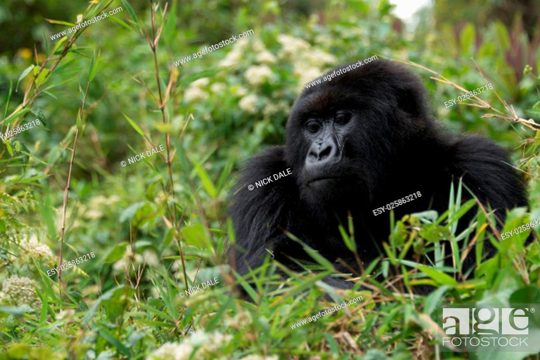 Stock Photo: A gorilla looks down from the top of a bush. Only its head and chest can be seen in the dense green undergrowth of the forest.