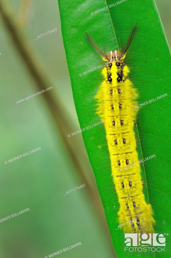 Stock Photo: Tropical Caterpillar, Tanjung Puting National Park, Province Kalimantan, Borneo, Indonesia.