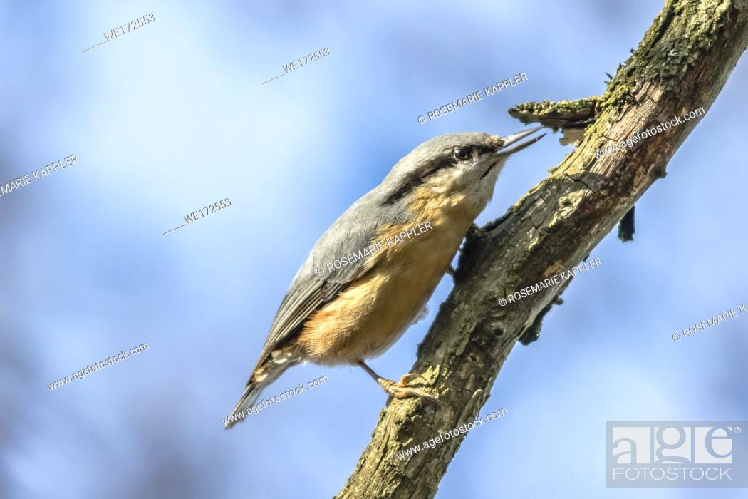 Stock Photo: Germany, Saarland, Homburg - A nuthatch on the tree is searching for fodder.