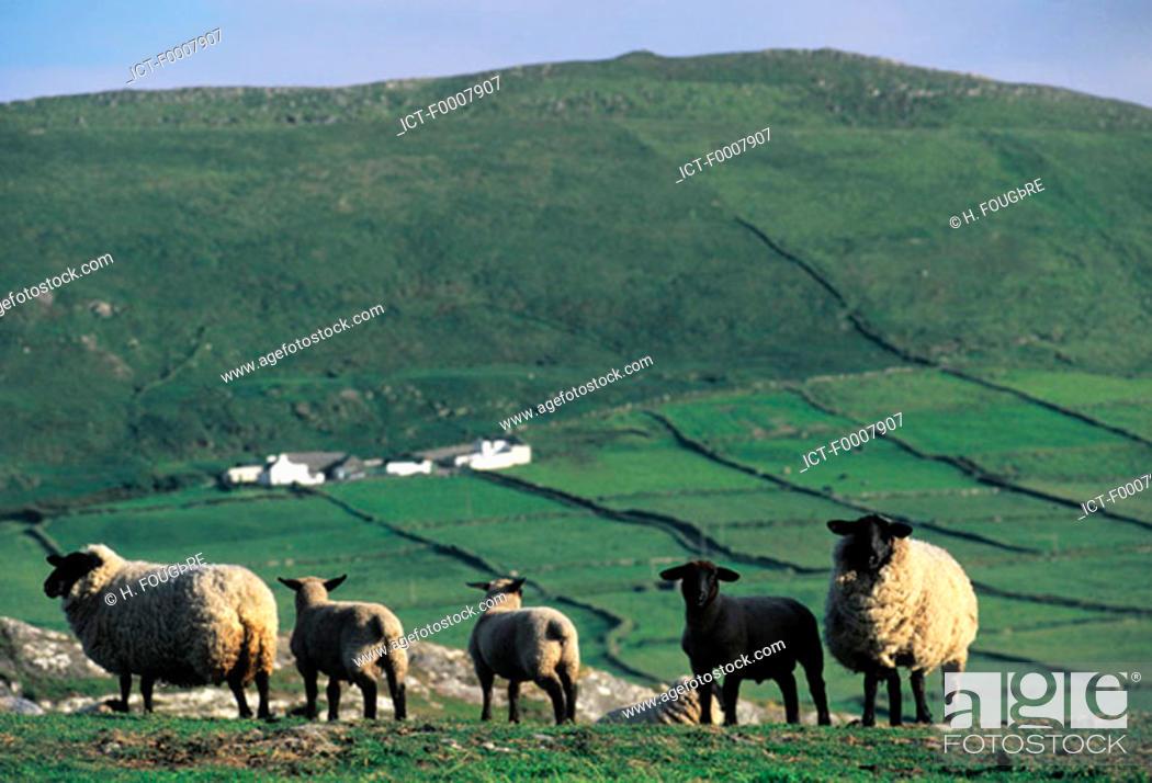 Stock Photo: Ireland, West coast, breeding.