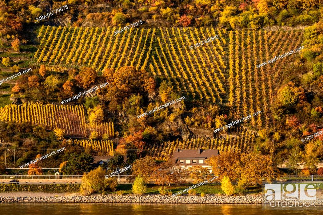 Stock Photo: Germany, Rhineland-Palatinate, upper Middle Rhine Valley, Saint Goarshausen, district Wellmich, vineyard.