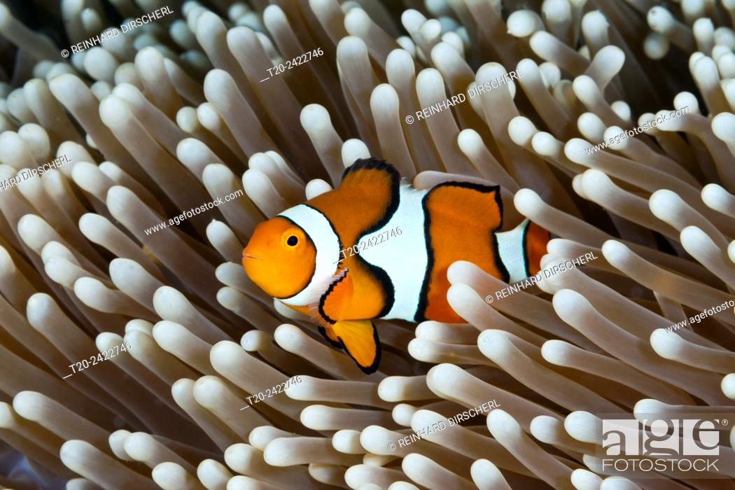 Stock Photo: Clown Anemonefish, Amphiprion percula, Great Barrier Reef, Australia.