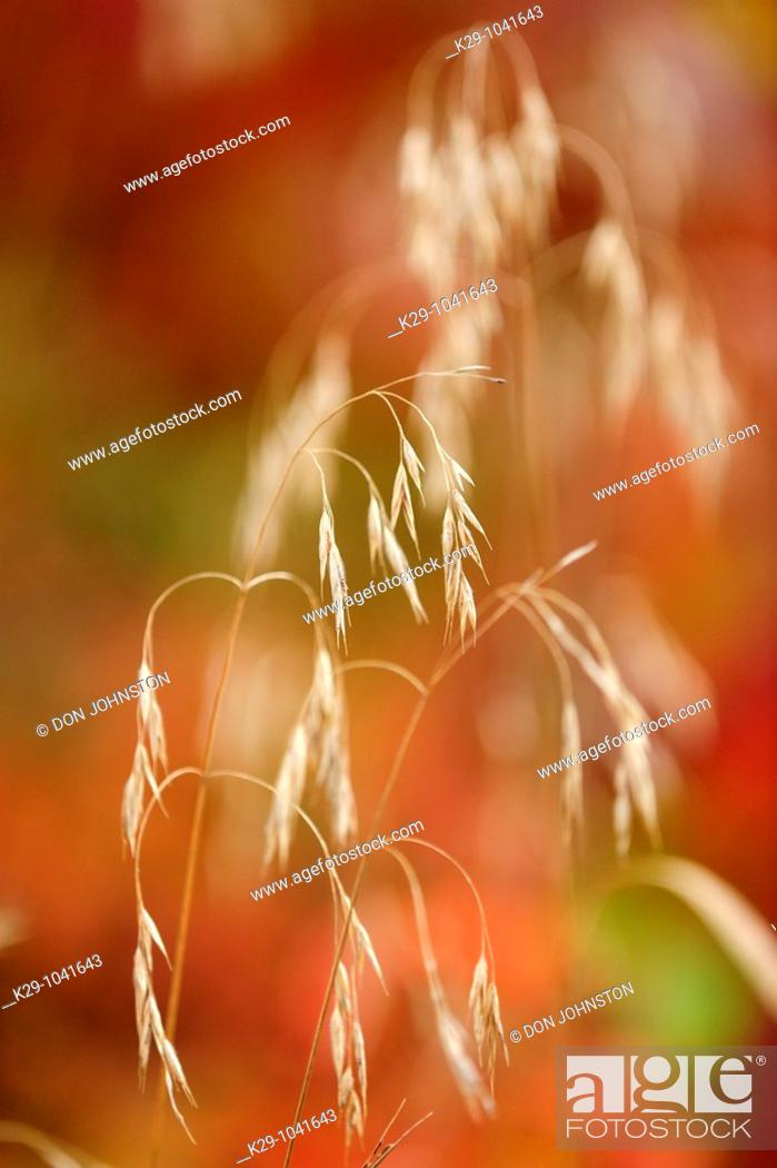 Stock Photo: Grass Canada blue joint and autumn raspberry.