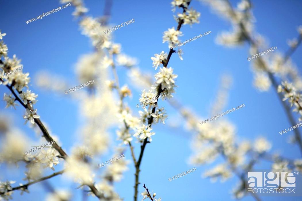 Stock Photo: fruehlingserwachen, alergie, bloom, blooms, blossom, blue, branch.