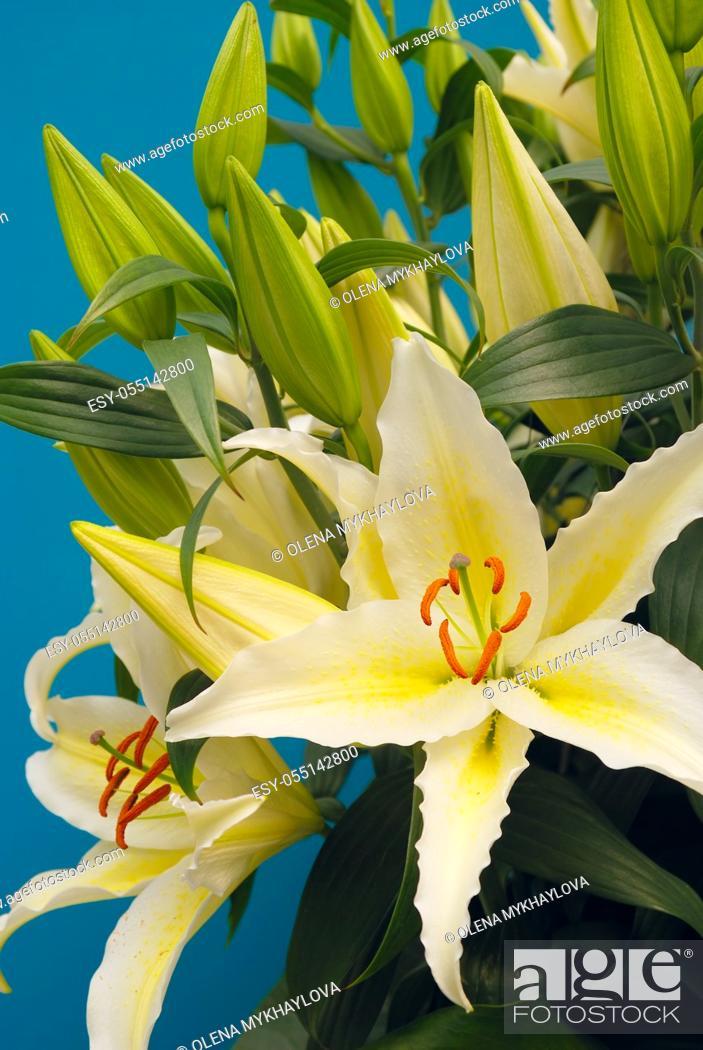 Stock Photo: White liles in the Keukenhof park.