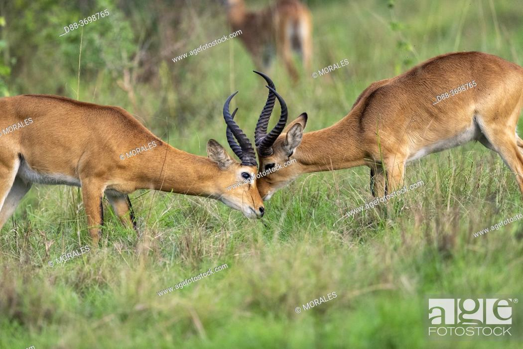 Photo de stock: Uganda Kob gather in the rainy season to graze the lush grasslands at Ishasha in the southwest sector of the Queen Elizabeth National Park, Fight between males.