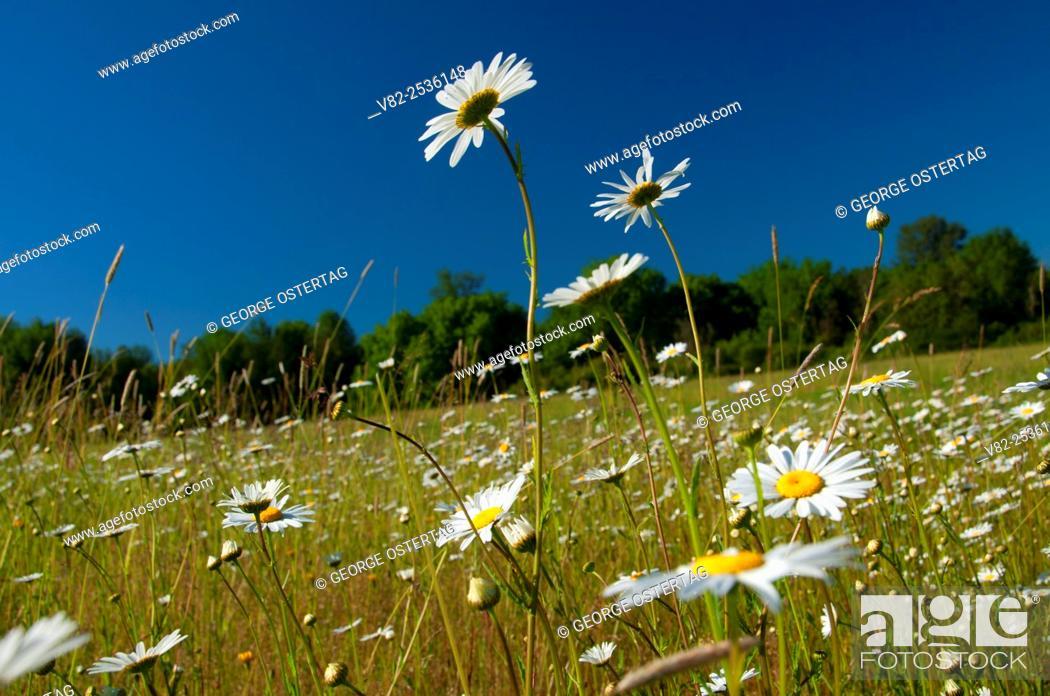 Stock Photo: Daisy field, Willamette Mission State Park, Oregon.