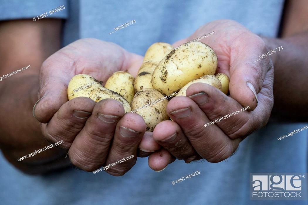 Stock Photo: Close up of person holding freshly harvested potatoes.