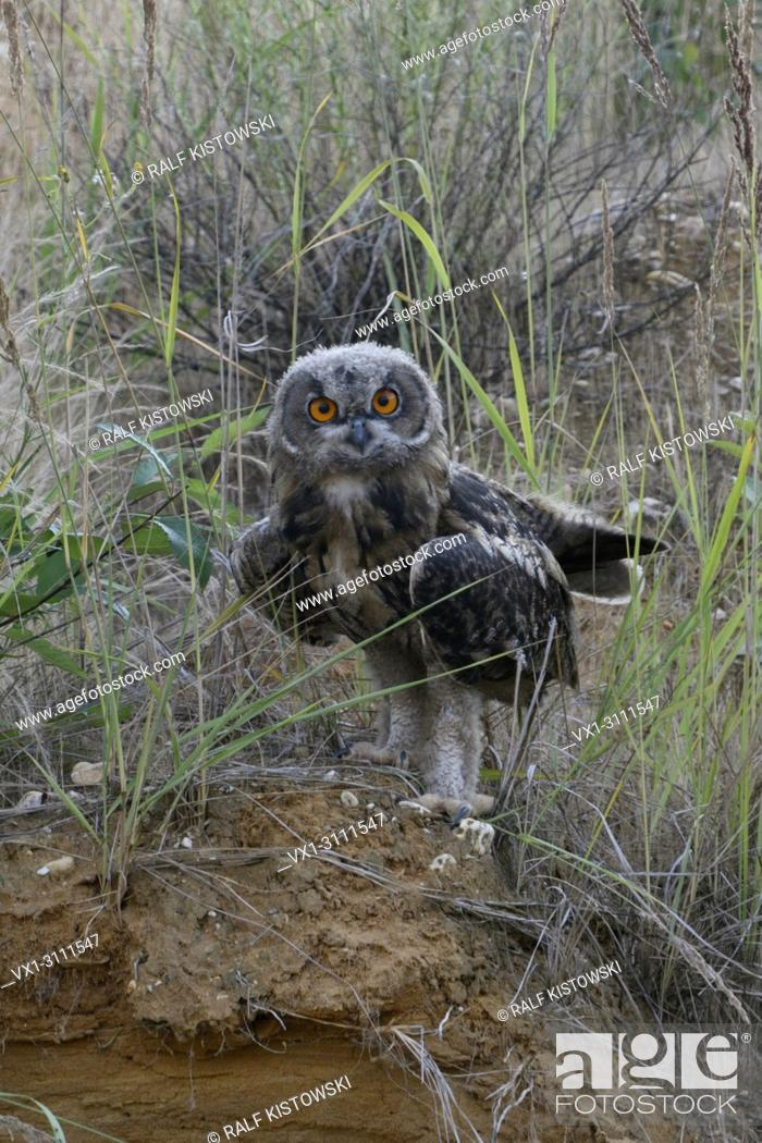 Stock Photo: Eurasian Eagle Owl / Europaeischer Uhu ( Bubo bubo ), young, moulting plumage, fledged, perched on the scarp of a sand pit, looks funny, wildlife, Europe.