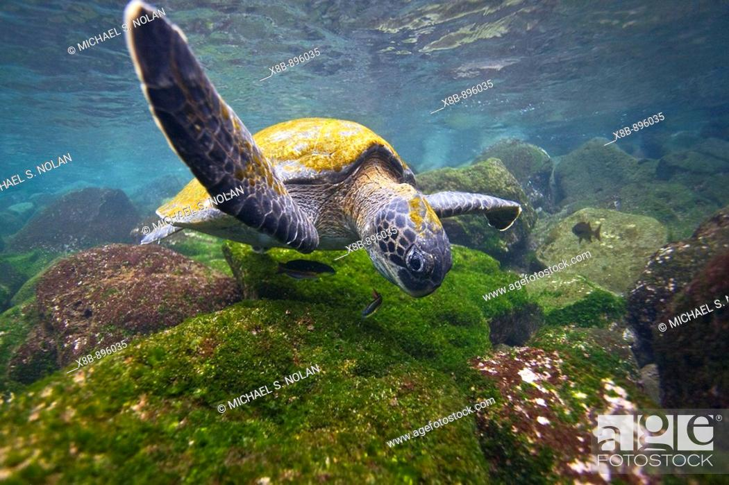Stock Photo: Adult green sea turtle Chelonia mydas agassizii underwater off the west side of Isabela Island in the waters surrounding the Galapagos Island Archipelago.