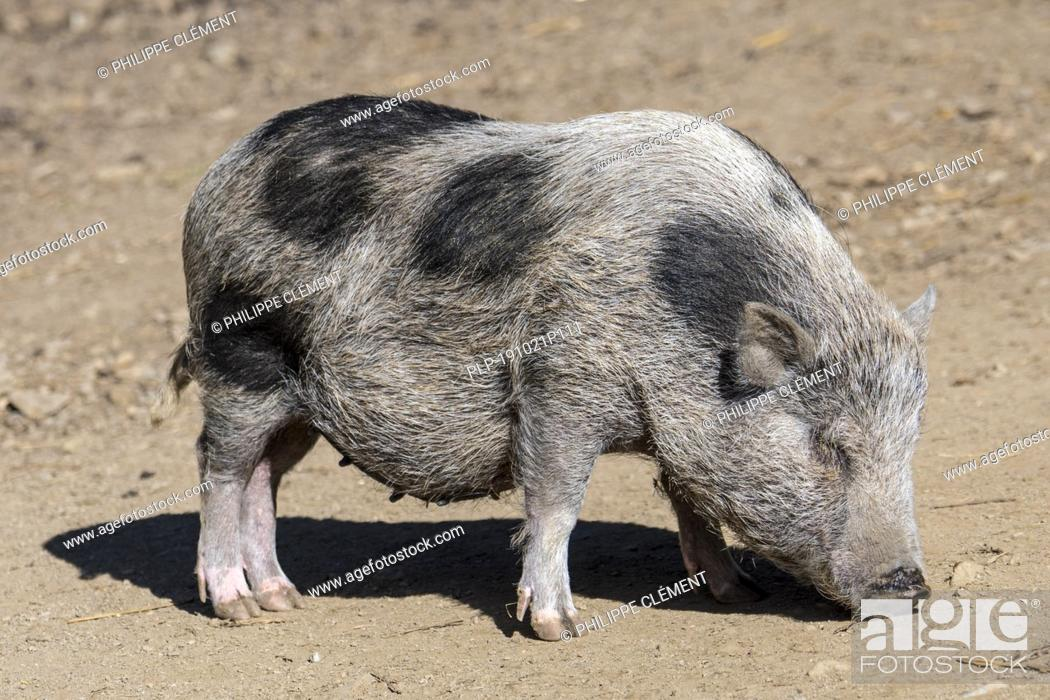 Stock Photo: Young Vietnamese Pot-bellied pig / Lon I pig, endangered traditional Vietnamese breed of miniature domestic pig.