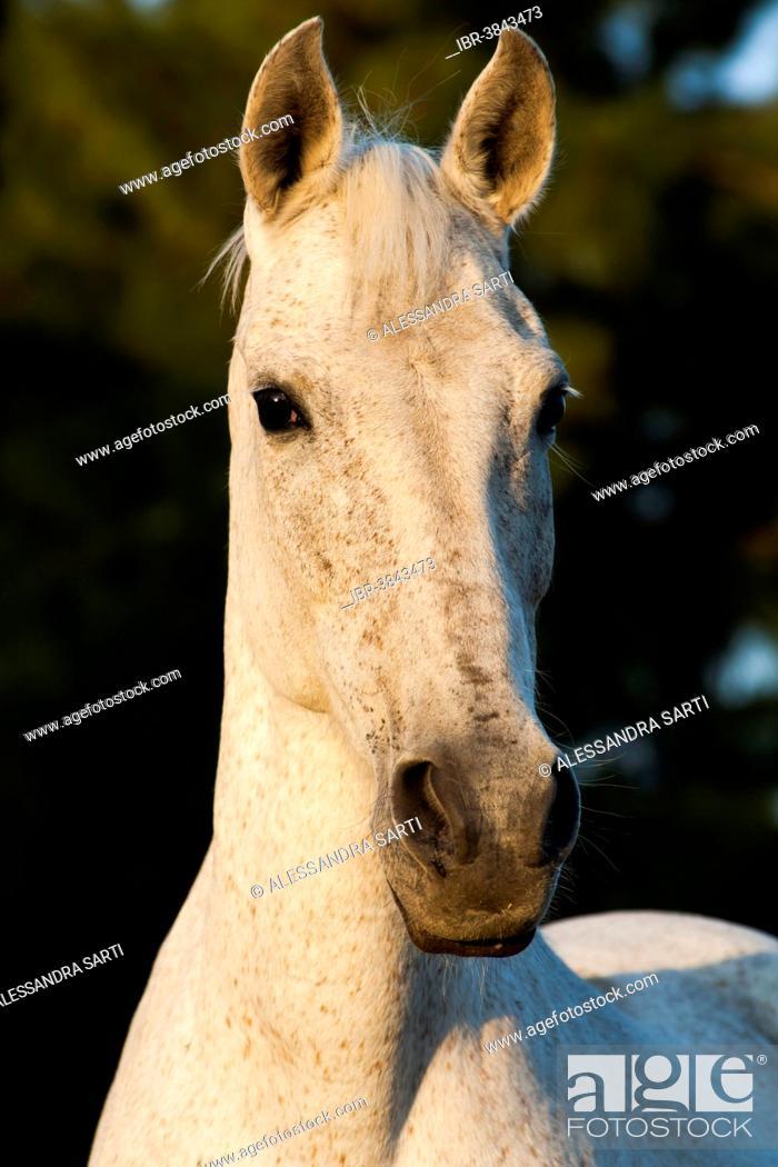 Stock Photo: Lusitano horse, mare, white horse, Andalusia, Spain.