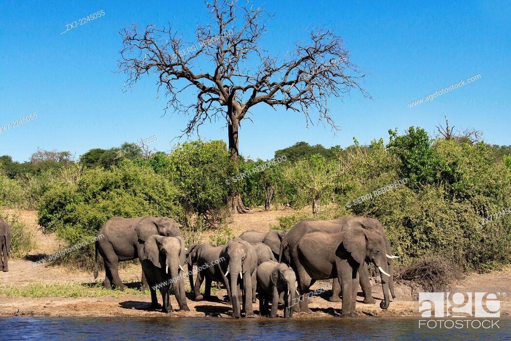 Stock Photo: From Victoria Falls is possible to visit the nearby Botswana. Specifically Chobe National Park. Chobe - The Elephant Capital of Africa.