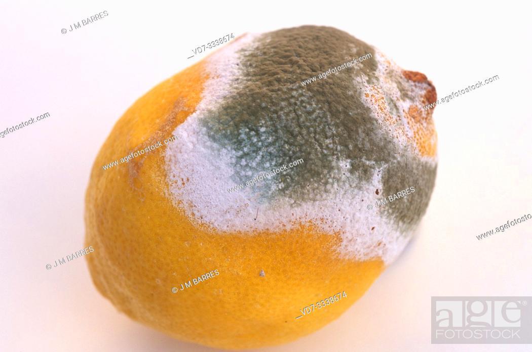 Stock Photo: Penicillium digitatum or Aspergillus digitatus colonizing a lemon.