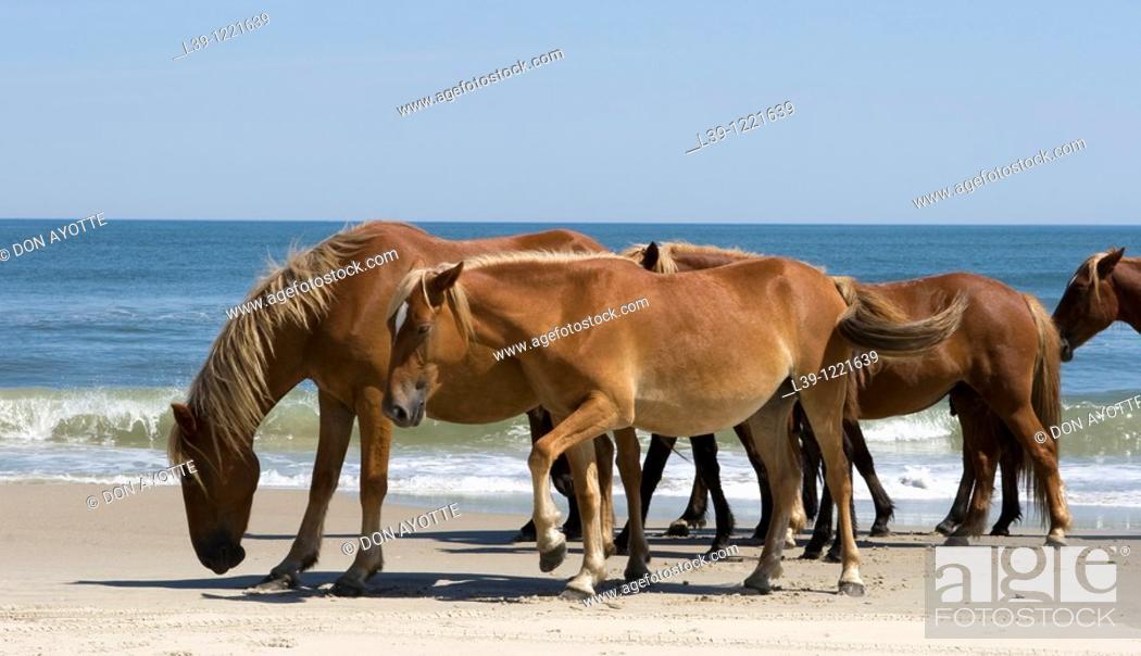 Stock Photo: Wild horses that roam the beaches of Carolla, NC, USA.