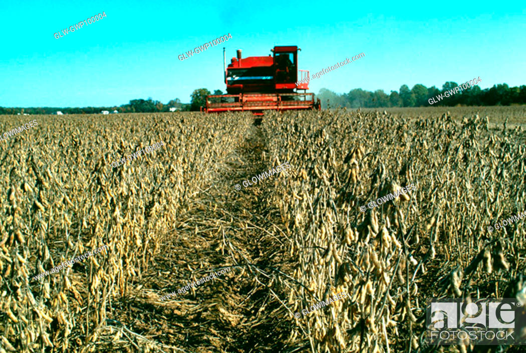 Stock Photo: combine harvesting soy beans in MD.