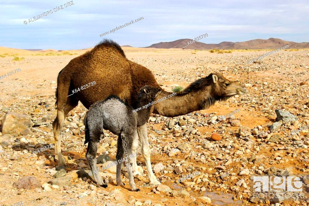 Stock Photo: Dromedary and calf beside water pool. Sahara desert, Morocco.