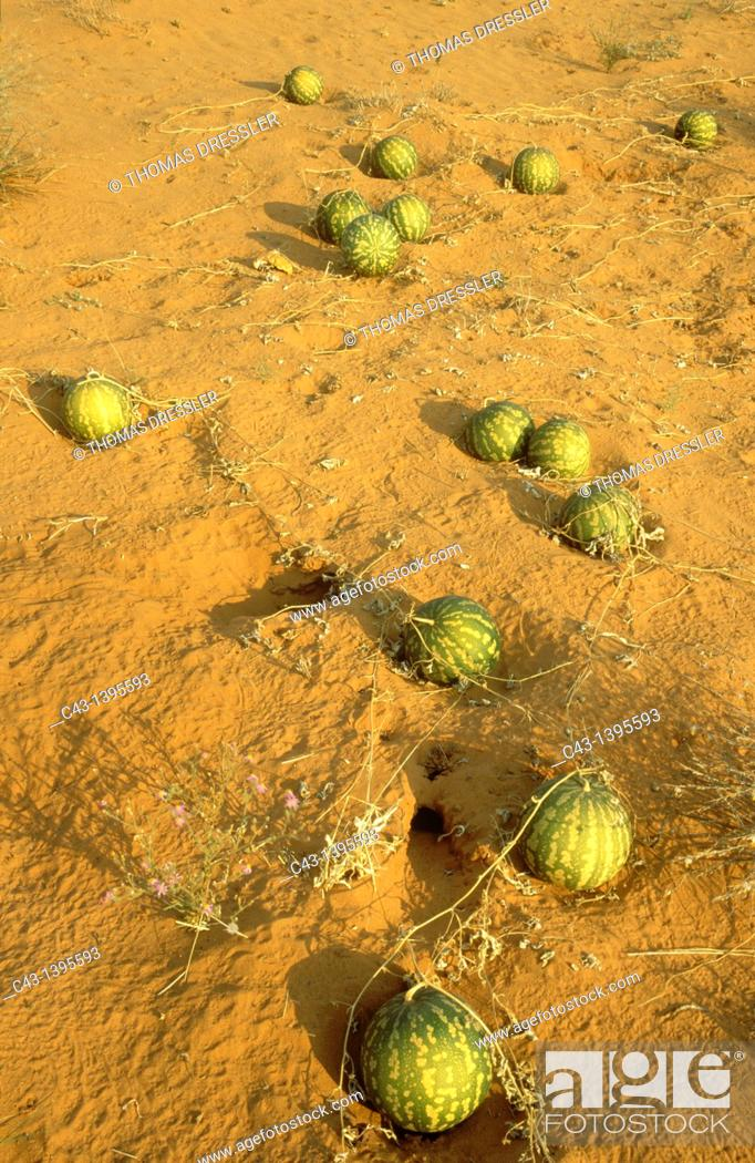 Stock Photo: Tsamma Citrullus lanatus - Source of food and water for all kinds of animals  Green colour indicates the young fruit  Kalahari Desert.