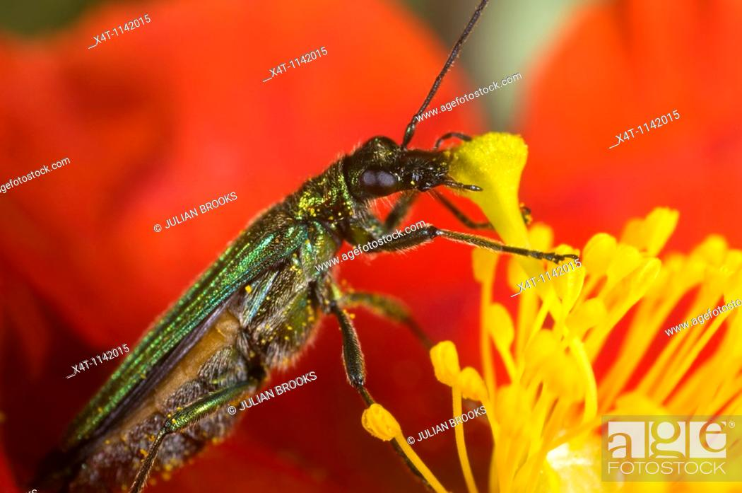 Stock Photo: oedemera nobilis, a green metallic pollen-eating beetle found in gardens in the UK  Feeding on a heliathemum rock rose flower.