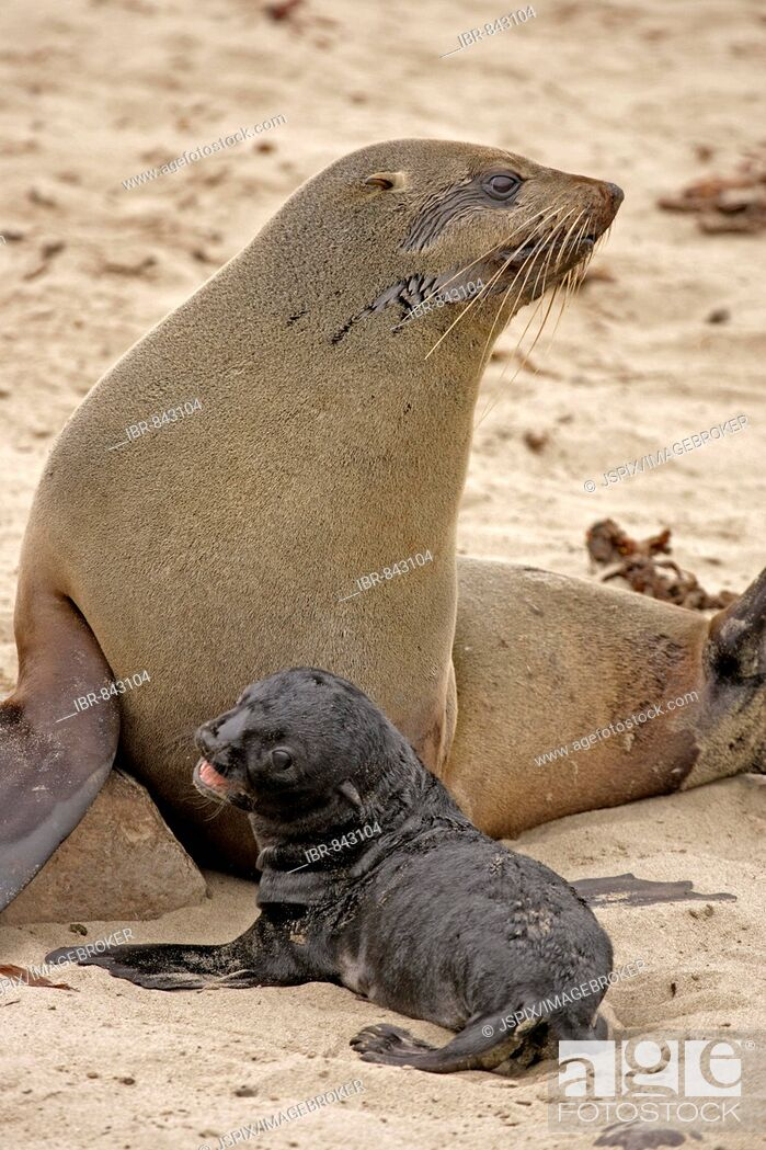 Stock Photo: Brown Fur Seal, Cape Fur Seal or South African Fur Seal (Arctocephalus pusillus) adult with bleating pup, Cape Cross, Namibia, Africa.
