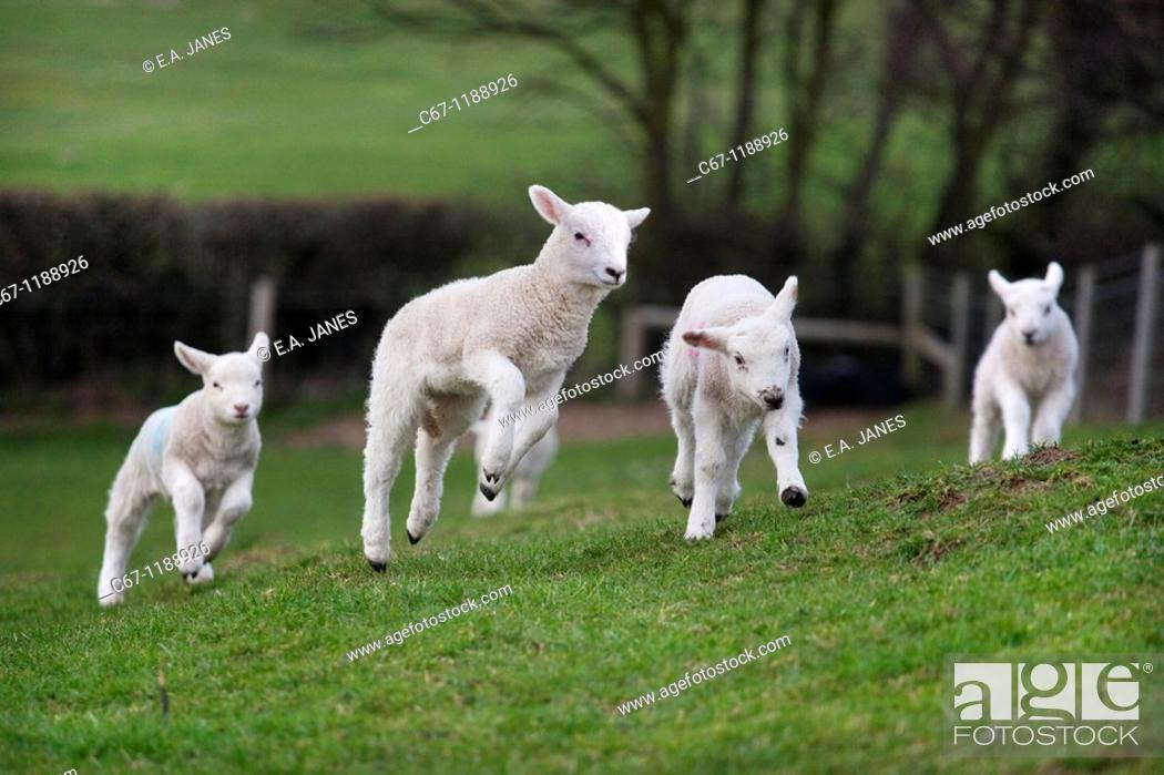 Stock Photo: Ewe and Lambs March Norfolk.