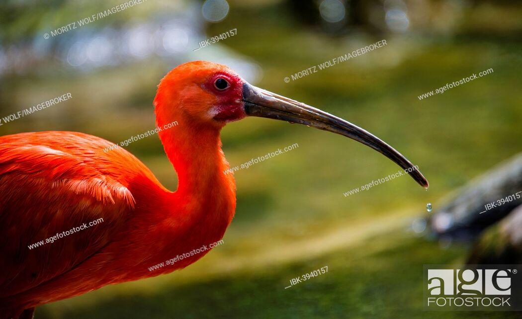 Imagen: Scarlet Ibis (Eudocimus ruber), animal portrait.