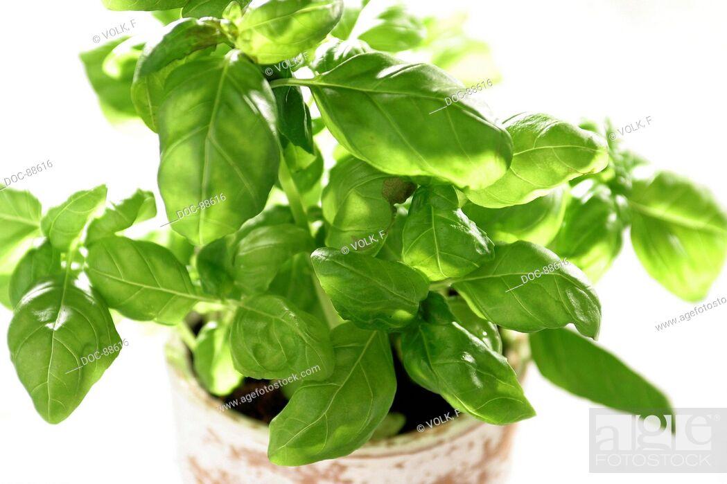 Imagen: basil in a pot.