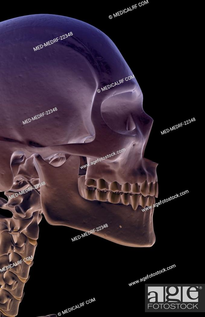 Stock Photo: The bones of the head and face.