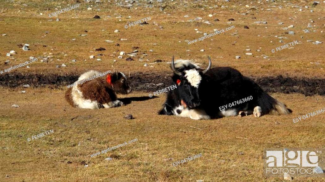 Stock Photo: Yak mother with calf.