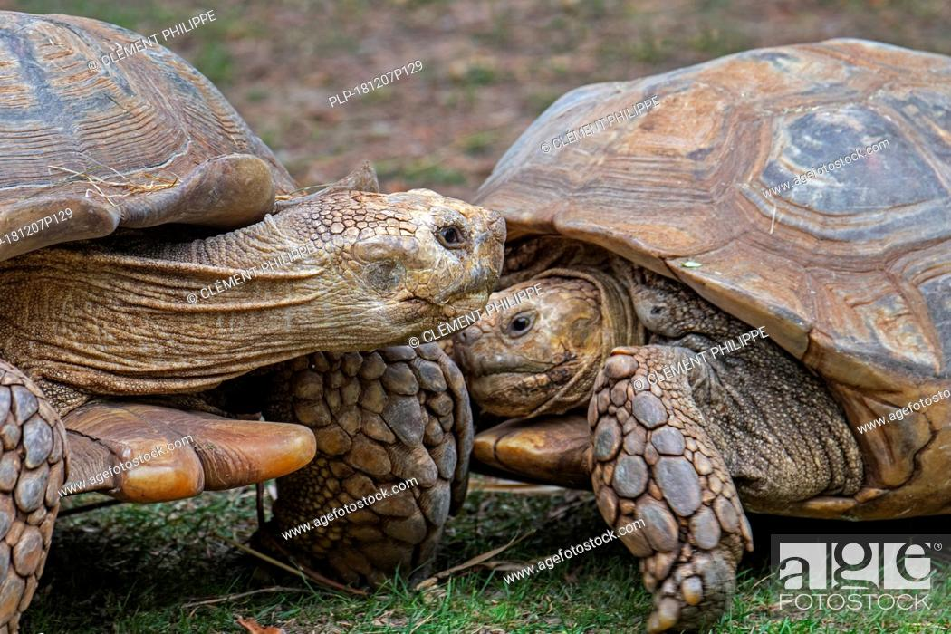 Stock Photo: Two African spurred tortoises / sulcata tortoises (Centrochelys sulcata / Testudo sulcata) native to Africa.