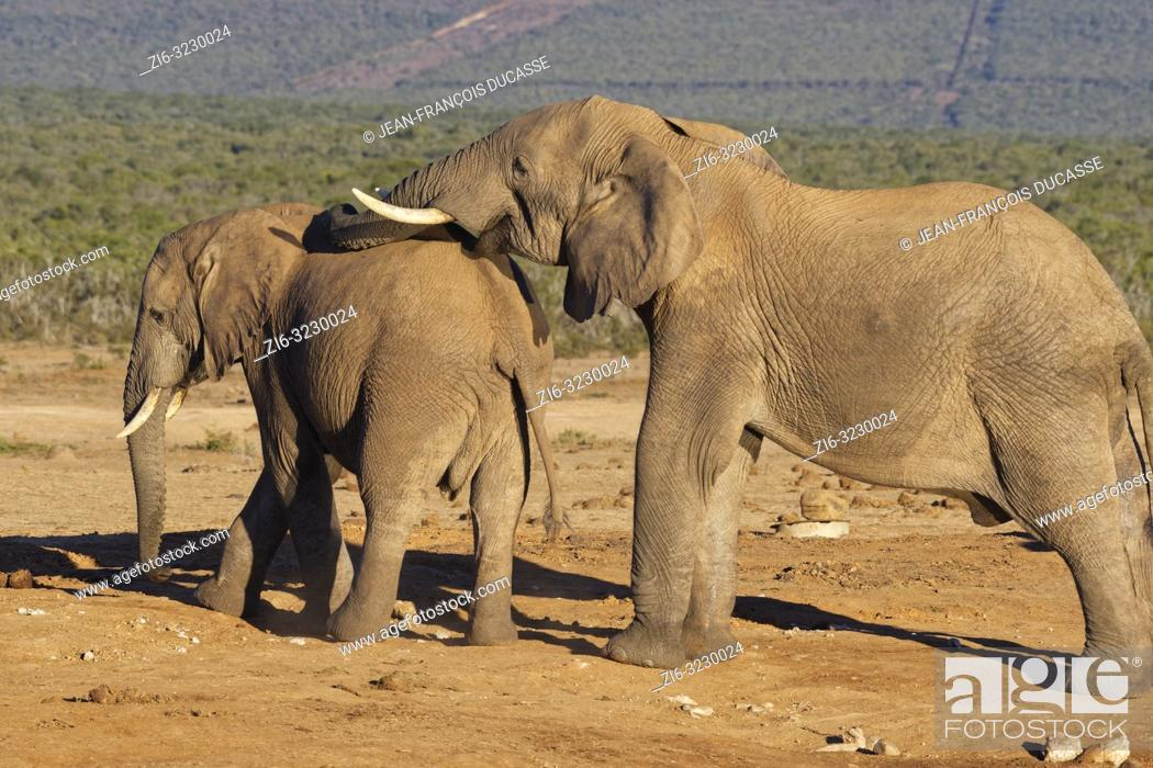 Stock Photo: African bush elephants (Loxodonta africana), two males, at a waterhole, social interaction, Addo Elephant National Park, Eastern Cape, South Africa, Africa.