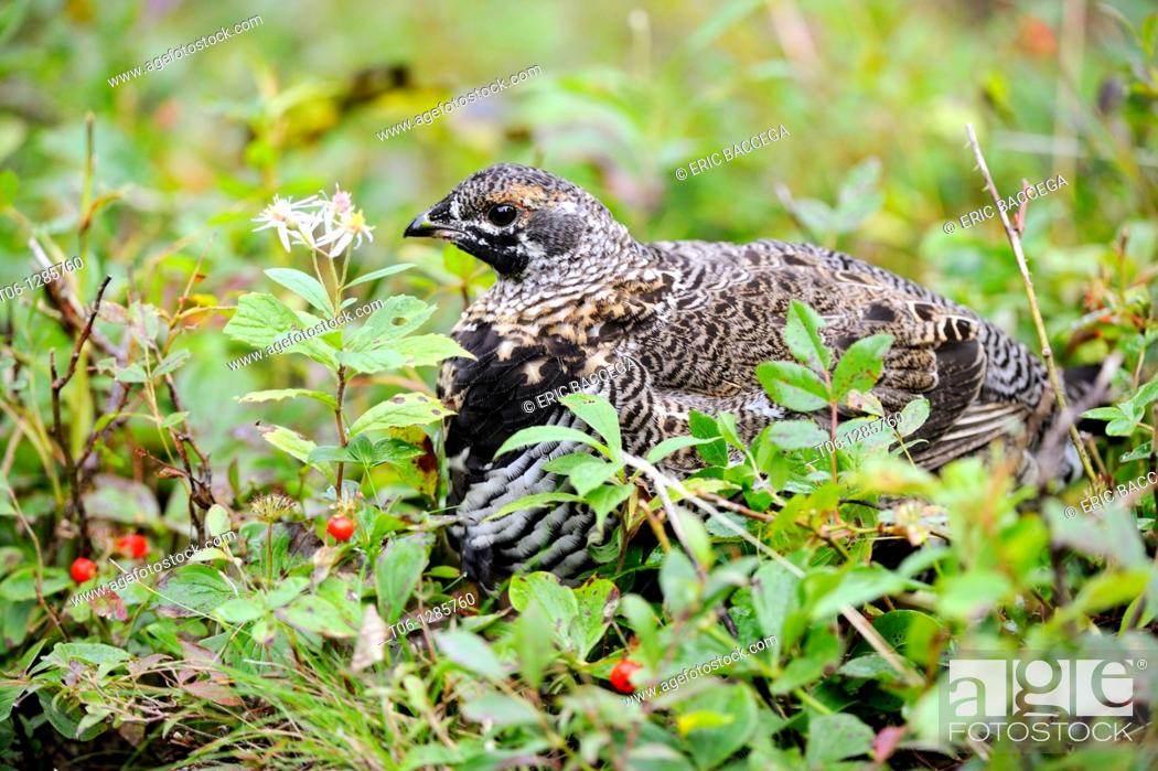 Stock Photo: Spruce grouse female looking for food in the forest Dendragopus canadensis Cap Breton Highlands National Park, Nova Scotia, Canada.