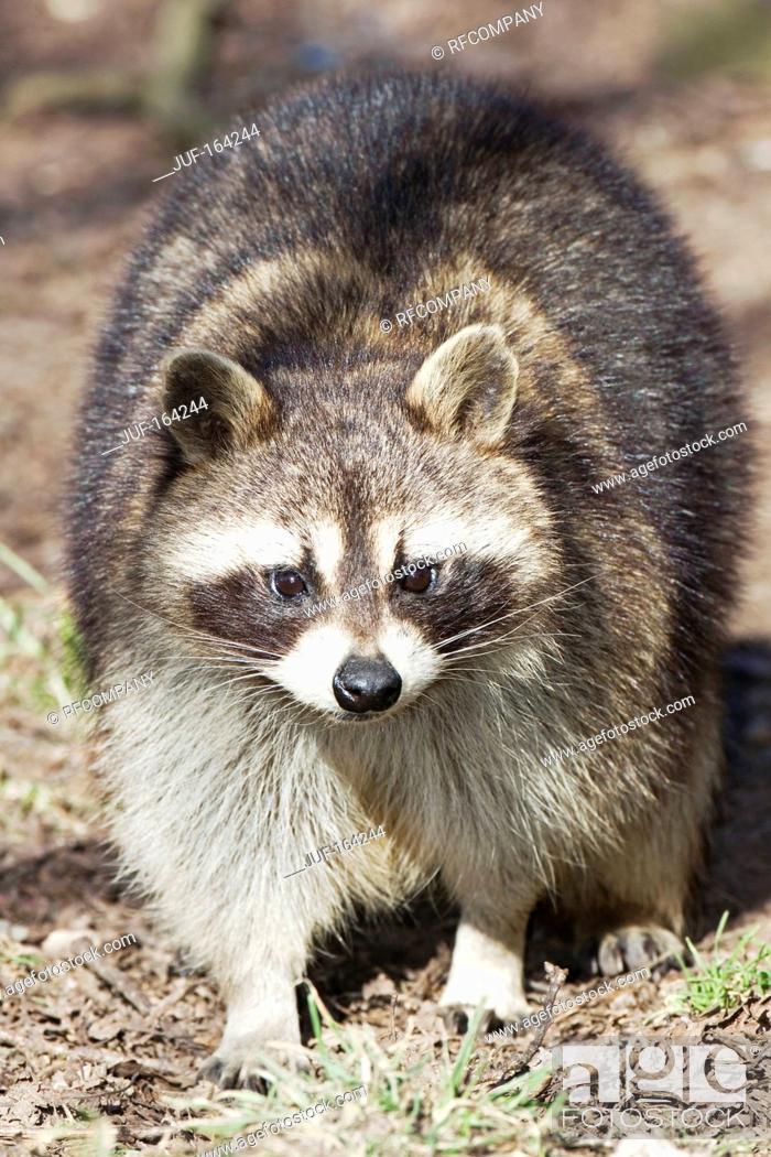 Imagen: raccoon - standing / Procyon lotor.