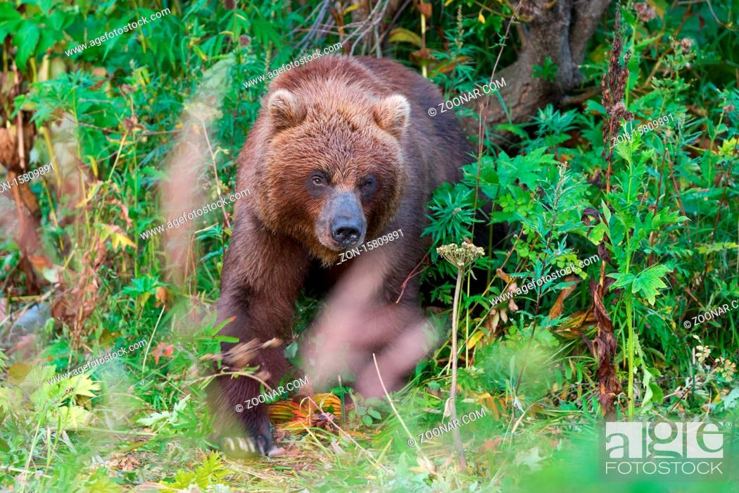 Stock Photo: Wild Kamchatka brown bear in natural habitat, looking out of summer forest. Kamchatka Peninsula - travel destinations for observation wild predators in wildlife.