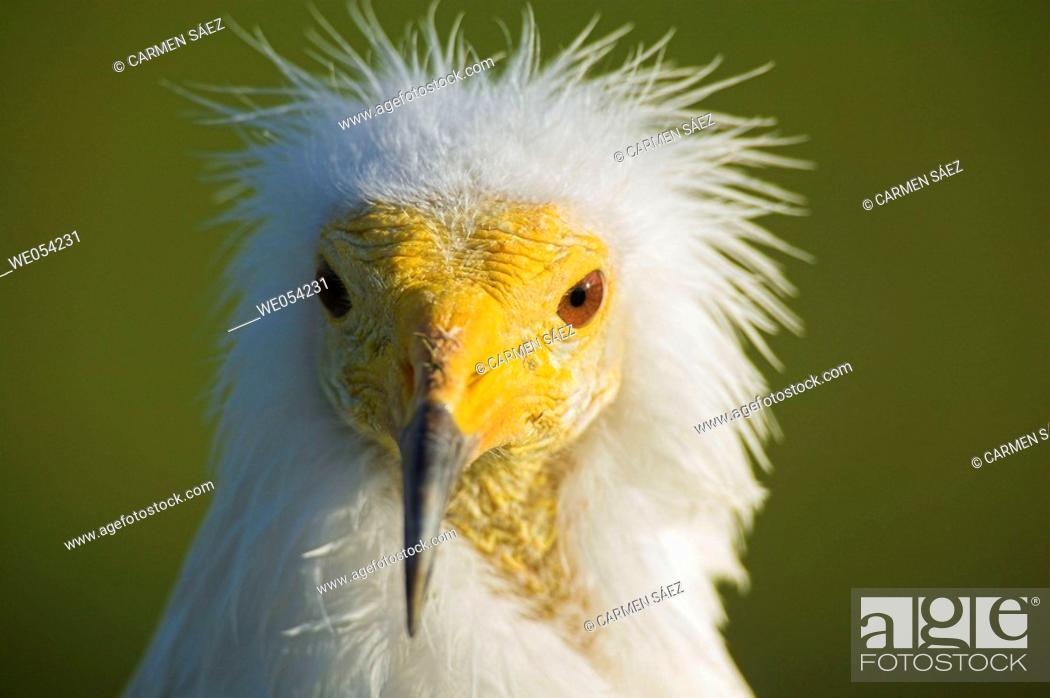 Stock Photo: Egyptian Vulture (Neophron percnopterus).
