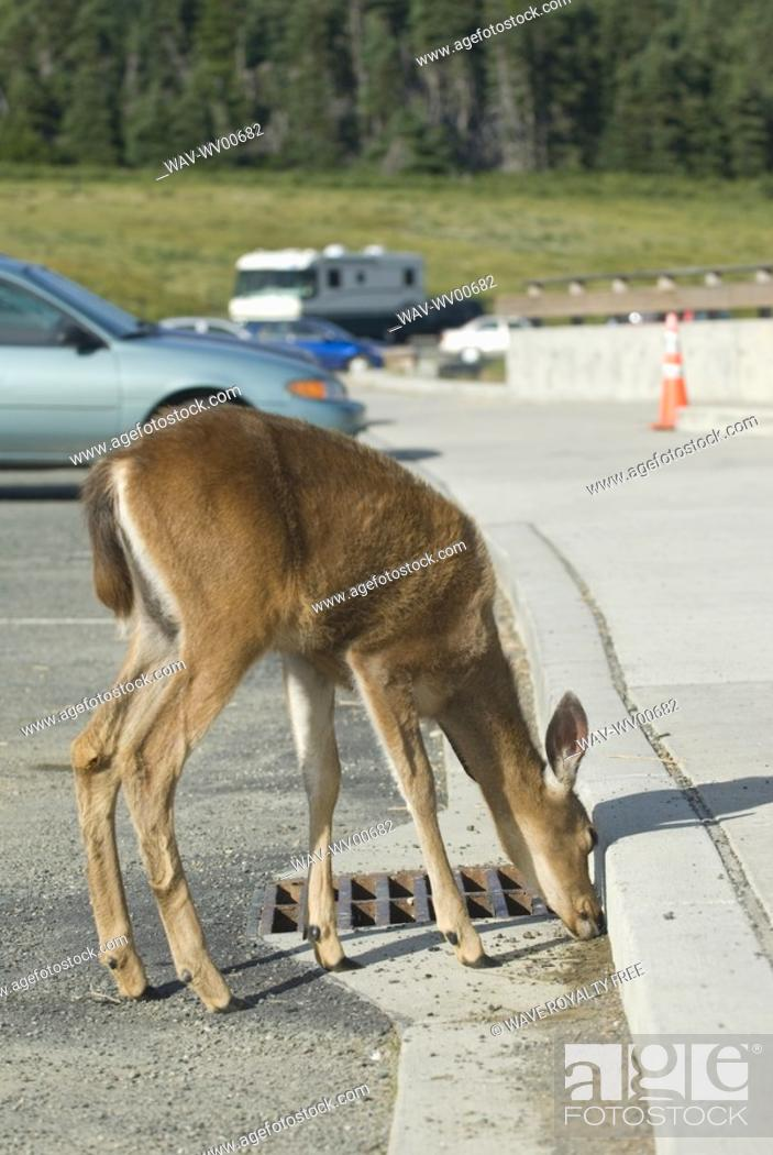 Stock Photo: Mule deer licking salt off the road in a parking lot Olympic National Park, Hurricane Ridge, Washington, USA.