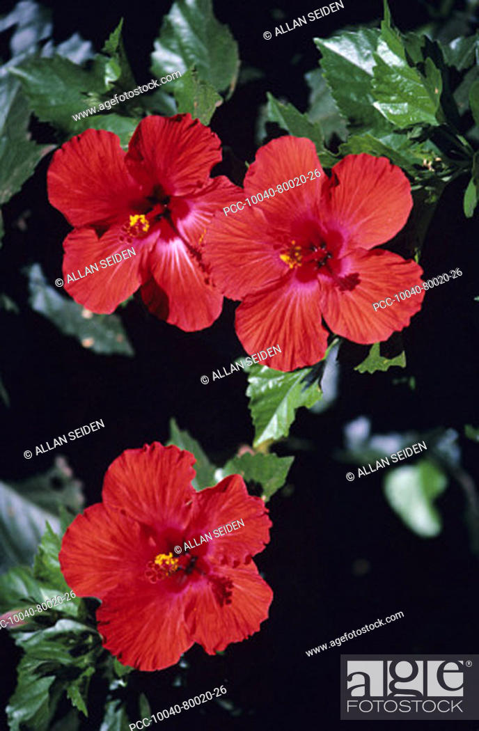 Stock Photo: Closeup of three red hibiscus growing on plant.