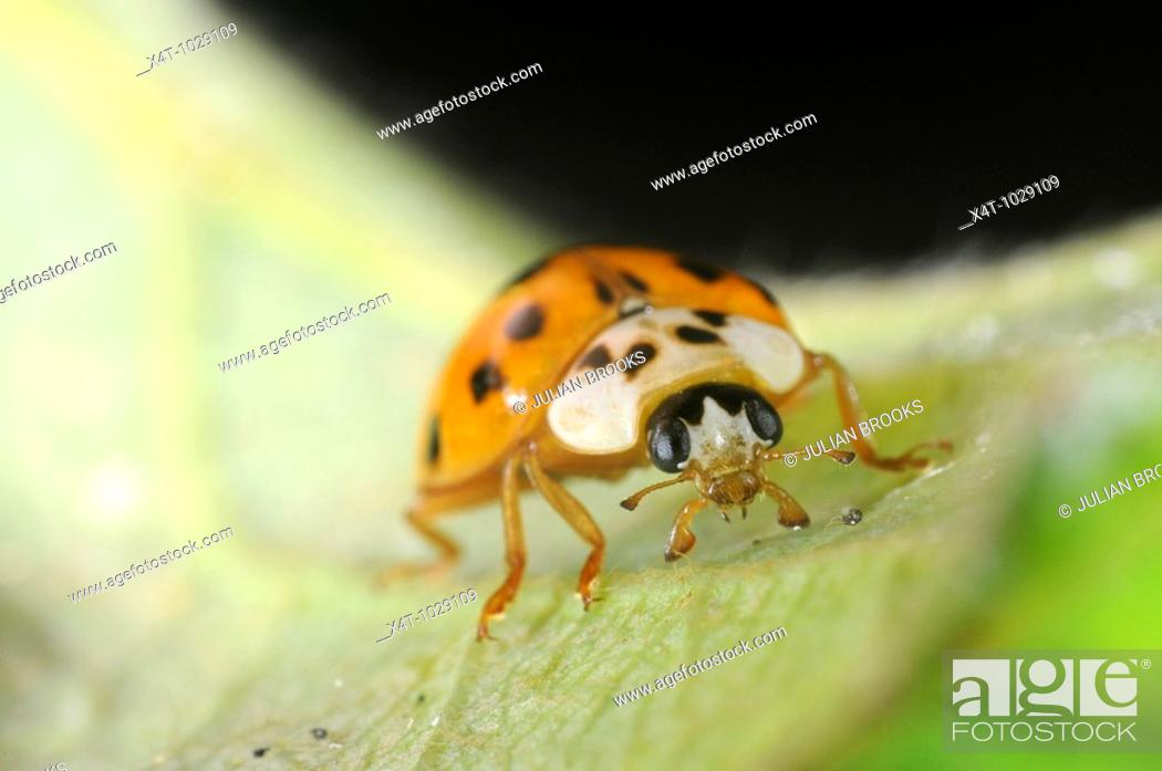 Stock Photo: harlequin ladybird Harmonia axyridis on leaf.